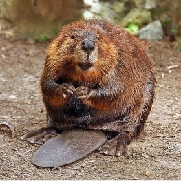597px-american_beaver